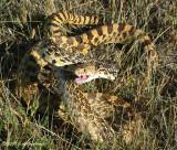 Bullsnake (Pituophus catenifer sayi)