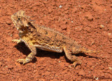 Texas Horned Lizard (Phrynosoma cornutum)
