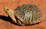 Ornate Box Turtle (Terrapene ornata ornata)