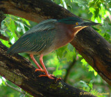 Green Heron (Butorides striatus)