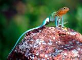 Eastern Collared Lizard (Crotaphytus collaris)