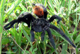 Mexican Redrump Tarantula (Brachypelma vagans)