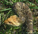 Bullsnake (Pituophis catenifer sayi)