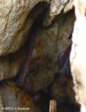 Western Pipistrelle (Pipistrellus hesperus)