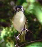 Black-capped Vireo female