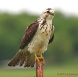 Swainson's Hawk  subadult