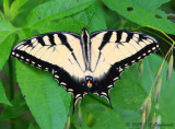 E. Tiger Swallowtail (Papilio glaucus)