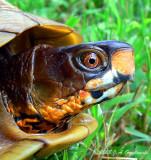 Three-toed Box Turtle (Terrapene carolina triunguis)