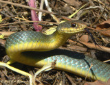 E. Yellow-bellied Racer (Coluber constrictor flaviventris)