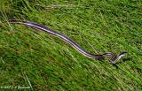 Orange-striped Ribbonsnake (Thamnophis proximus proximus)