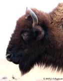mystic buffalo
