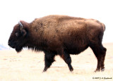 buffalo on a ghostly prairie