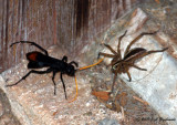 spider wasp and prey