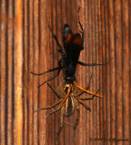 spider wasp and stunned spider