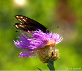 Black Swallowtail in serious wind