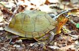 Three-toed Box Turtle (Terrepene carolina triunguis)