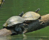River Cooters (Pseudemys concinna)