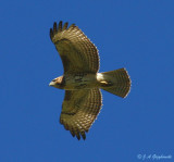 Imm. Red-tailed Hawk