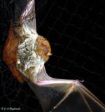 Western Red Bat (Lasiurus blossevillii)