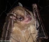 Jamaican Fruit Bat (Artibeus jamaicansis)