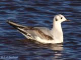 Bonaparte's Gull, first cycle