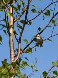 Paruline, flancs marron, Parc Mont St-Bruno 2008