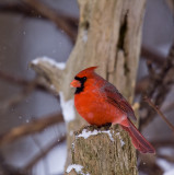 Cardinal mâle, Boisé Papineau,  Laval