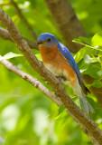 Merle bleu, Cimetière Mont-Royal