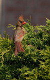 Cardinal femelle, St-Bruno
