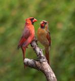 Cardinal rouge le couple, St-Bruno