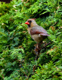 Cardinal rouge femelle,  St-Bruno