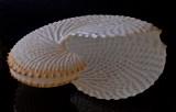 Shell 9 - Paper Nautalus