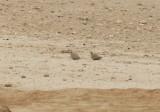 Black-bellied Sandgrouse (Pterocles orientalis) Los Monegros Aragon Spain 3-4-2012.JPG
