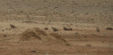Los Monegros 3-4-2012 Black bellied Sandgrouse.JPG