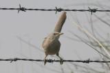 Babblers - Mockingbirds (5)