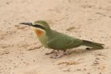 Bee-eaters - Hornbills (12)