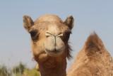 Camels (1)