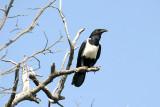 Crows - Hypocolius (9)