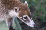 Racoons (1)