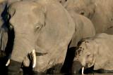 Elephants (1)