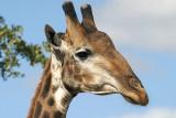 Giraffes (1)