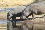 Hippopotamuses (1)