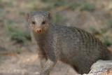 Mongooses (2)