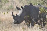 Rhinoceroses (1)