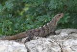 Common iguana
