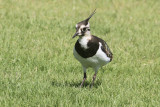 Northern lapwing