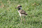 Red-wattled plover