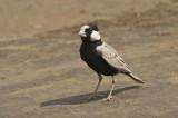 Sunbirds - Accentors (16)