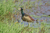 Jacanas - Coursers (5)