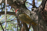 Golden -tailed woodpecker